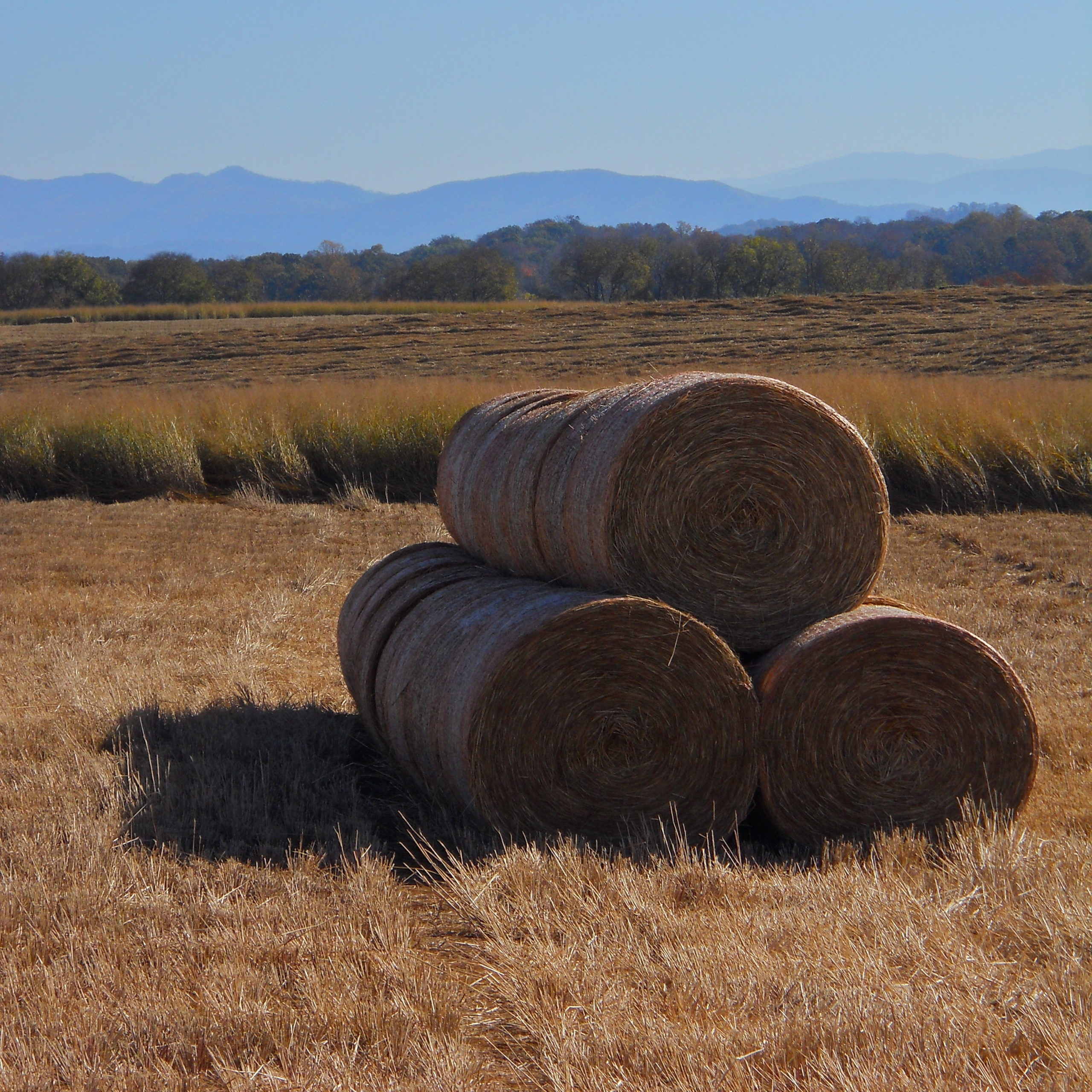 switchgrass bales in field with mountain backdrop