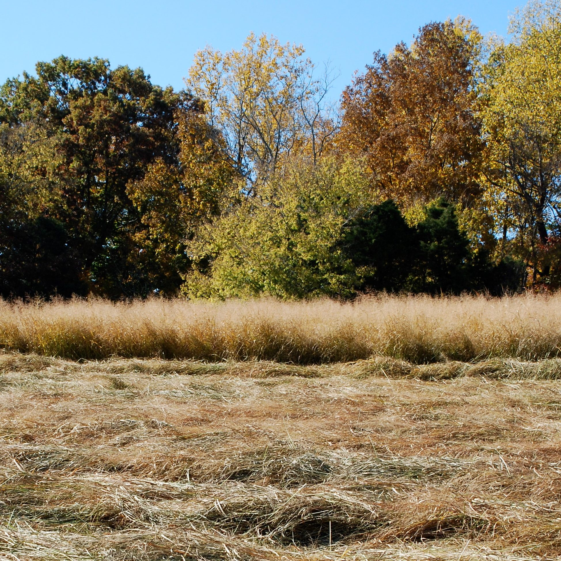 freshly harvested switchgrass