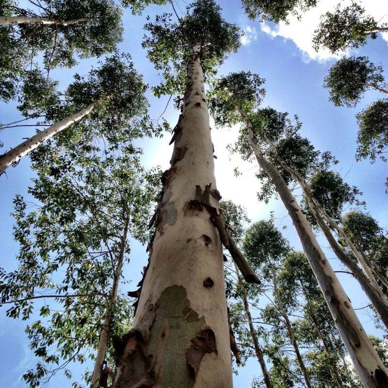 eucalyptus tree growing into the sky